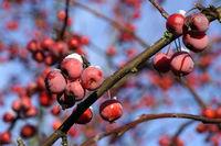Siberian crab apple, Siberian crab, Manchurian crab apple or Chinese crab apple