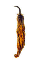 Backlit dried chili pepper isolated on white background.