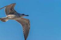 Common gull against a blue sky on a sunny day