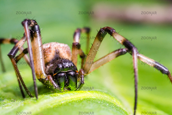 Super macro image of black and brown spider on green leaf.