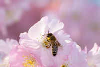 Bee at pink cherry blossoms