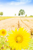 bee on sunflower with wheat field in background