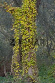 Baum mit Efeu-Bewuchs im Naturschutzgebiet Urdenbacher Kaempe in Duesseldorf,NRW,Deutschland