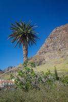 Tall palmtree in La Gomera island
