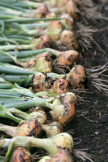 Freshly dug onion bulbs on the ground