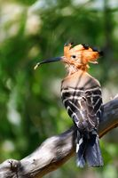 bird Madagascan hoopoe Madagascar wildlife