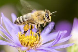 Biene mit einer Alpen-Aster, Aster alpinus