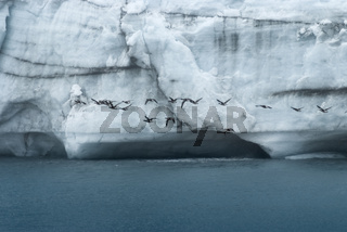 Flock Of Birds Flying In Front Of A Massive Wall Of Ice At Margerie Glacier, Glacier Bay National Park, Alaska