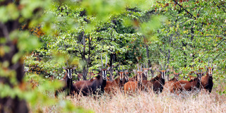 Saebelantilopen, versteckt im Wald, Majete Wildlife Reserve, Malawi, (Hippotragus niger), | Sable antelopes, Majete Wildlife Reserve, Malawi, (Hippotragus niger)