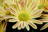 yellow Gazania or Treasure flower