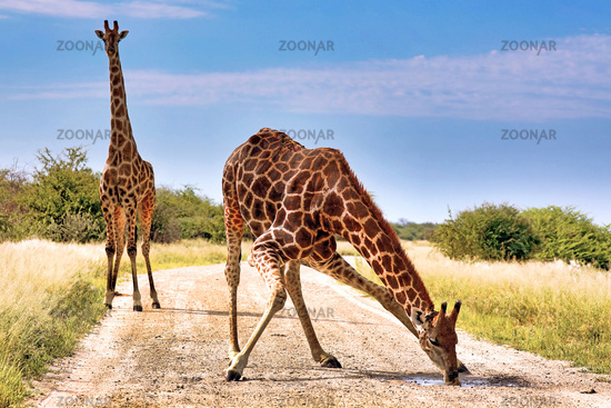 Giraffe drinking at the street, Etosha National Park, Namibia, (Giraffa camelopardalis)