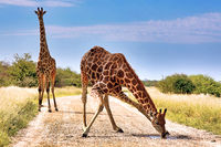 Giraffe drinking at the street, Etosha National Park, Namibia, (Giraffa camelopardalis)