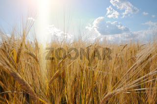 Barley field under cloudy blue sky in Ukraine