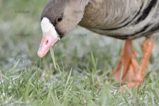 Greater White-fronted Goose * Anser albifrons *, feeding, close-up