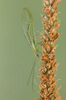 Flor fly_Chrysopidae