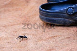 Giant leaf cutter ant in size comparison with a shoe