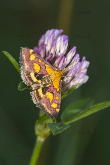Purple borer (Pyrausta purpuralis)
