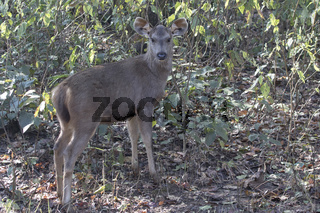 young deer sambar who stands on the edge of a forest in the winter Indian forest
