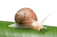 An albino garden snail, Cornu aspersum, on a banana leaf and white background,