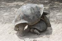 Galápagos giant tortoises (Chelonoidis nigra ssp), Isabela Island, Galapagos, Ecuador