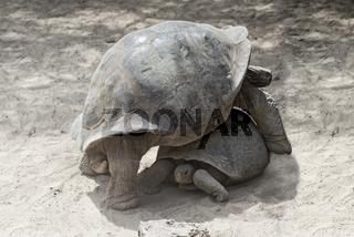Galapagos-Riesenschildkröten (Chelonoidis nigra ssp), Insel Isabela, Galapagos Inseln, Ecuador
