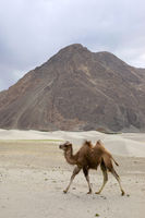 The Bactrian camel, Camelus bactrianus, is a large, even-toed ungulate native to the steppes of Central Asia, Pangong Lake, Jammu and Kashmir, India.