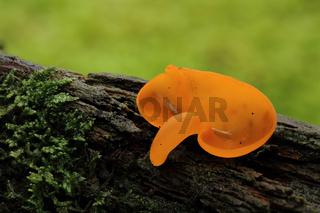 Orangeroter Becherling (Aleuria aurantia)