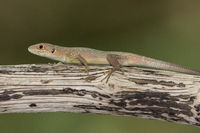 Green lizard on a branch