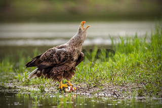 Adult white-tailed eagle, haliaeetus albicilla, in summer screaming.