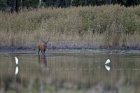 Red stag and Great Egrets