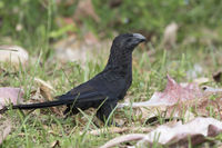smooth-billed ani who stands in a meadow among tall grass on a sunny day