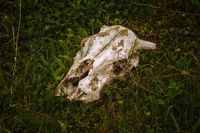 Cow skull in the grass
