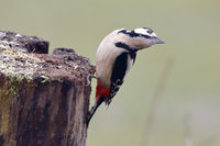 Great spotted woodpecker on a wooden pole