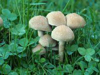 Weeping Widow mushroom, Lacrymaria lacrymabunda