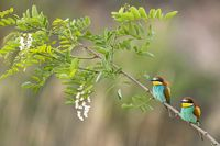 bee-eater on a branch