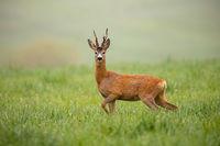Roe deer, capreolus capreolus, buck watching alerted with leg lifted
