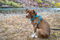 Young pit bull terrier dog in no pull harness