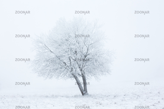 Alone winter tree in fog