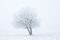 Alone winter tree in fog