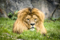 Male lion with a large mane relaxing