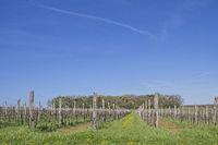 Weinanbau in Istrien