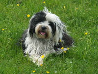 Tibetan Terrier in meadow