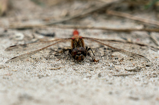 Macro close up of the head of a red dragonfly