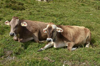 alpine pasture cows, Zillertaler alps, Austria, Europe