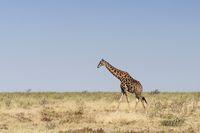 Giraffes at the Etosha National Park