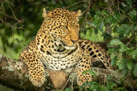 Leopard lying on lichen-covered branch looking down