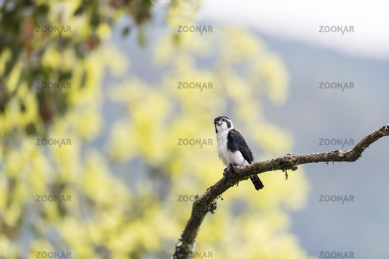 pied falconet