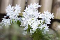 Weiße Scilla im Garten, Nahaufnahme