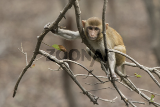 young rhesus macaque sitting on a branch without leaves over a small lake in winter