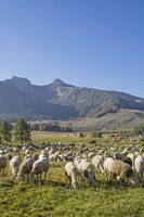 Schafherde im Monte Bondonegebirge